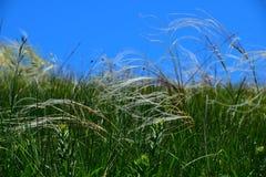 Curva del stipa de la hierba de la estera de la pluma en el viento debajo de un cielo azul Fotografía de archivo libre de regalías