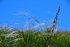 Curva del stipa de la hierba de la estera de la pluma en el viento debajo de un cielo azul Imagen de archivo libre de regalías