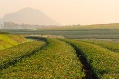 Curva del tè verde di mattina Fotografie Stock Libere da Diritti