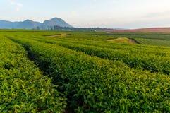 Curva del té verde Foto de archivo libre de regalías