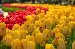 Curva del tulipano Immagine Stock Libera da Diritti