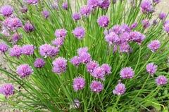 Curva lilás de florescência Foto de Stock