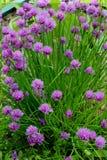 Curva lilás de florescência Imagens de Stock Royalty Free