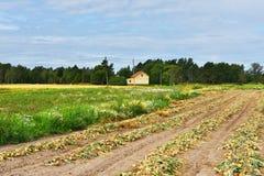 Curva no campo Colheita no fim do verão Fotos de Stock Royalty Free