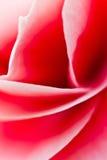 Curvas da flor da begônia Foto de Stock Royalty Free