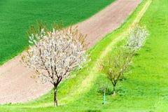 Curvas de la naturaleza Árbol blanco floreciente en campo verde de la primavera fotografía de archivo