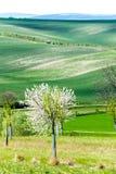 Curvas de la naturaleza Cerezo floreciente en campo ondulado de la primavera fotografía de archivo