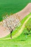 Curvas de la naturaleza Cerezo floreciente en campo verde de la primavera fotos de archivo libres de regalías