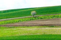 Curvas de la naturaleza Cerezo floreciente en campo verde de la primavera imagen de archivo libre de regalías
