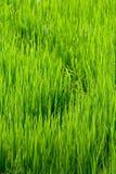 Curvas en campos del arroz Imagen de archivo