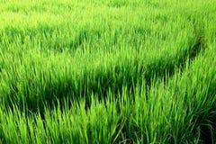 Curvas en campos del arroz Fotografía de archivo