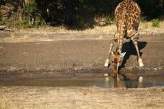 Curvas sedentos de um girafa para uma bebida Imagem de Stock