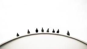 Curvatura dei piccioni Fotografie Stock