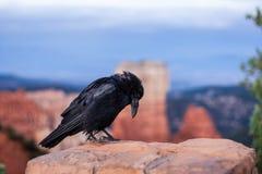 Curvatura Raven Immagine Stock