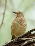 Curve-bill Thrasher Royalty Free Stock Images