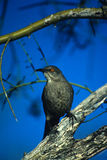 Curve-billed Thrasher Stock Images