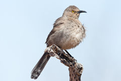 Curve Billed Thrasher Royalty Free Stock Photography