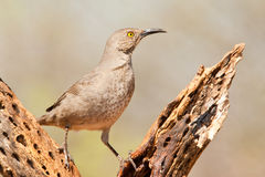 Curve Billed Thrasher Stock Photos