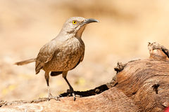 Curve Billed Thrasher. Full Body Profile of Adult Curve Billed Thrasher Standing on Old Tree Trunk Stock Images