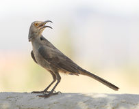 A Curve-billed Thrasher Royalty Free Stock Photo
