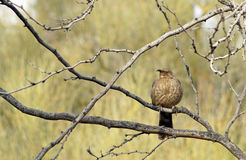 Curve Billed Thrasher Stock Images