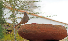 Curve Billed Thrasher Stock Photography
