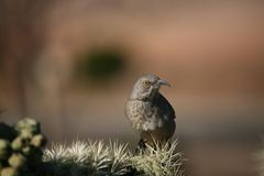 Curve-billed thrasher. A curve-billed thrasher on a cactus Stock Image