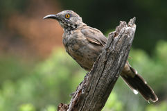 Curve-billed Thrasher - Arizona Royalty Free Stock Photos