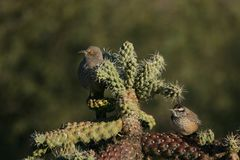 Curve-billed Thrasher and Cactus Wren Royalty Free Stock Images