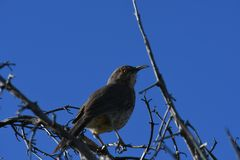 Curve-billed Thrasher - bird against the clear blue sky. The curve-billed thrasher, a common desert bird, prefers semi-open areas dominated by thorny shrubs royalty free stock photography