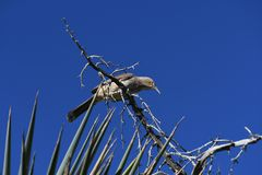 Curve-billed Thrasher - bird against the clear blue sky. The curve-billed thrasher, a common desert bird, prefers semi-open areas dominated by thorny shrubs stock photos
