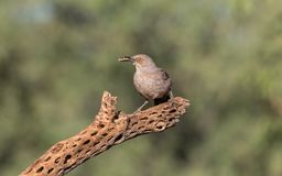 Curve-billed Thrasher. The curve-billed thrasher is a medium-sized mimid that is a member of the genus Toxostoma, native to the southwestern United States and Royalty Free Stock Image