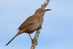Curve-billed Thrasher on Desert Perch. A Curve-billed Thrasher surveying the desert from its perch Stock Photography