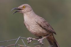 Curve-billed Thrasher On A Fence Stock Photos
