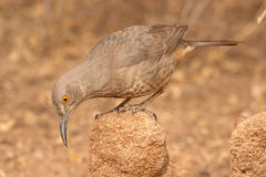 Curve-billed Thrasher Looking Down. A Curve-billed Thrasher looking down from a perch in central New Mexico Royalty Free Stock Photos