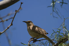 Curve-billed Thrasher Royalty Free Stock Image