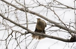 Curve-Billed Thrasher with Tail Feathers Splayed Stock Photography