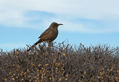 Curve Billed Thrasher Stock Photo
