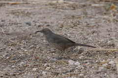 Curve-billed Thrasher Royalty Free Stock Images