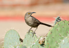 Curve-billed thrasher standing on Cactus Royalty Free Stock Image