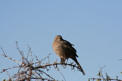 Curve-billed thrasher Toxostoma curvirostre Royalty Free Stock Photos