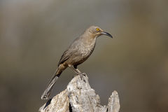 Curve-billed thrasher, Toxostoma curvirostre Stock Photo