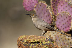 Curve-billed thrasher, Toxostoma curvirostre Royalty Free Stock Image