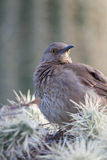 Curve-billed Thrasher, Toxostoma curvirostre Royalty Free Stock Photos