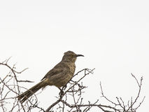 Curve-billed Thrasher Toxostoma curvirostre Royalty Free Stock Photography