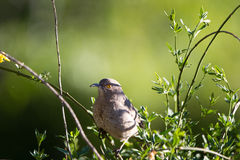 Curve-billed Thrasher, Toxostoma curvirostre Royalty Free Stock Photography