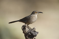 Curve-billed thrasher, Toxostoma curvirostre. By water Stock Photography
