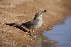 Curve-billed thrasher, Toxostoma curvirostre Royalty Free Stock Photo