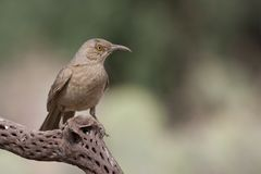 Curve-billed Thrasher, Western subspecies Stock Image