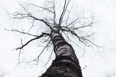 Curve birch tree without leaves Stock Photography